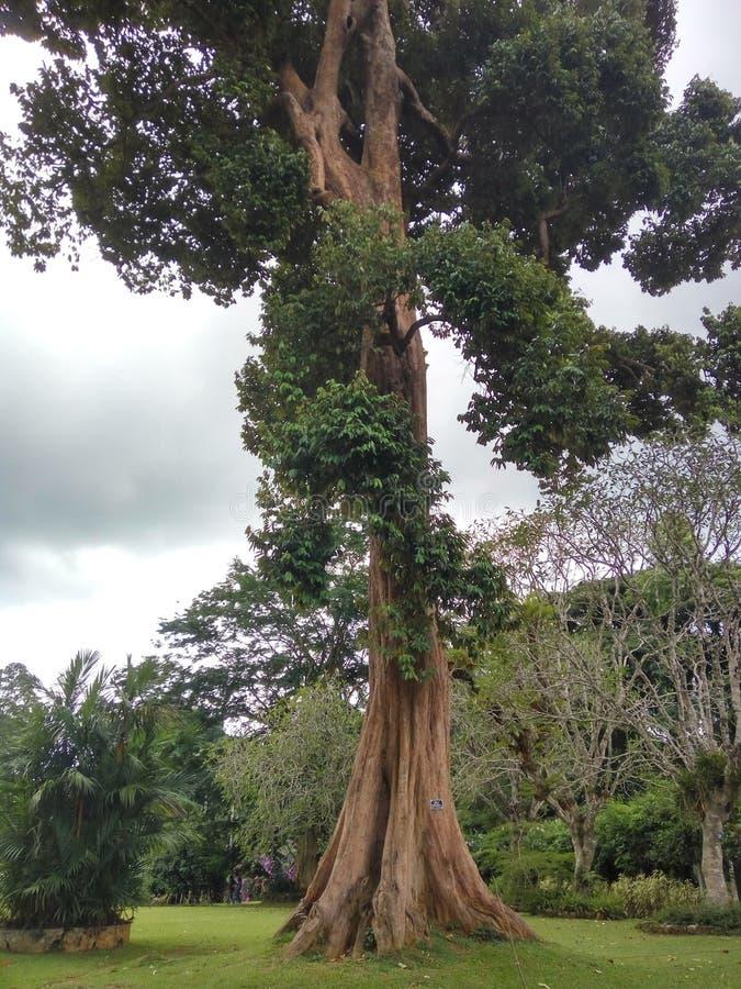 Großbaum im botanischen Garten - Peradeniya lizenzfreie stockfotos