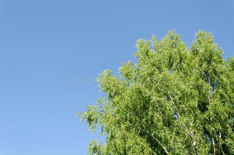 Große alte breite Birkenzweige auf blauem Himmel stockfotos