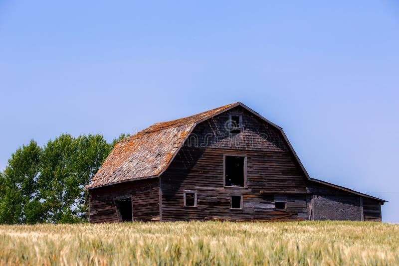 Große alte verblaßte hölzerne Scheune auf einem grünen Weizengebiet lizenzfreies stockbild