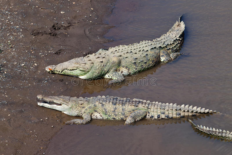 Große amerikanische Krokodile