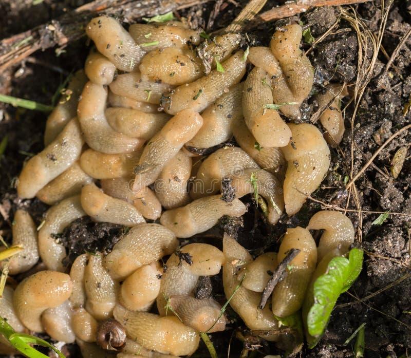 Große Ansammlung von Schnecken aus den Grund Landwirtschaftliche Plagen stockfoto