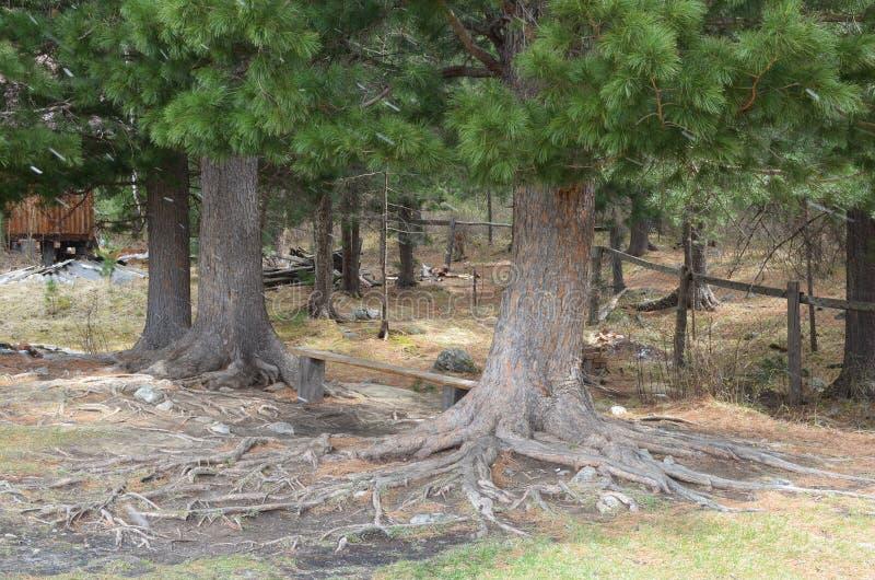 Große Bäume der sibirischen Zeder stockfotos