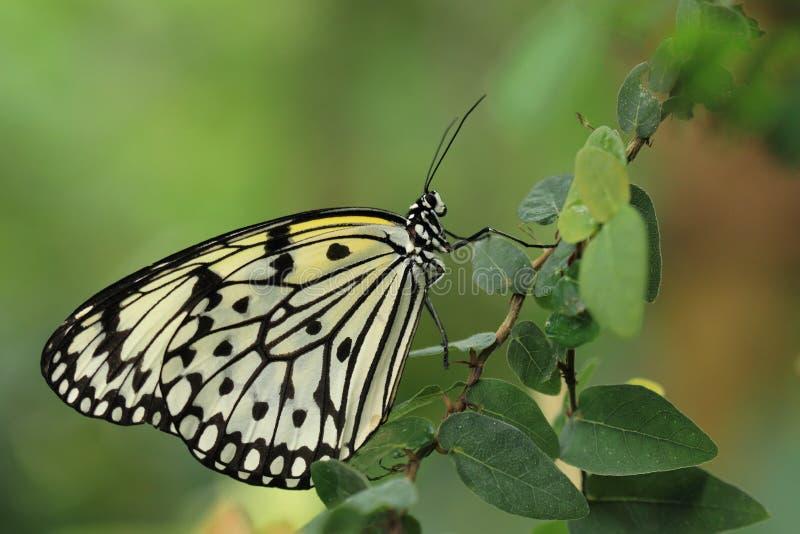 Download Große Baumnymphe stockfoto. Bild von insekt, idee, drachen - 27726762