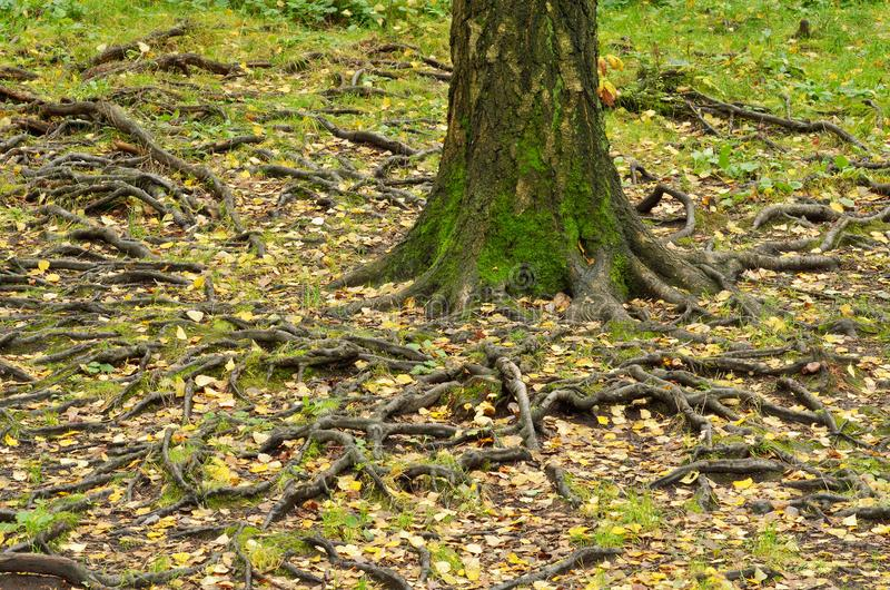 große Baumwurzeln stockfotografie