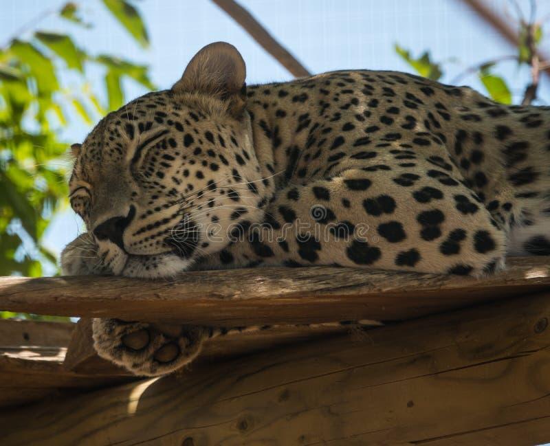 Große beschmutzte Katze, die auf dem Baum im Naturlebensraum liegt lizenzfreie stockfotografie