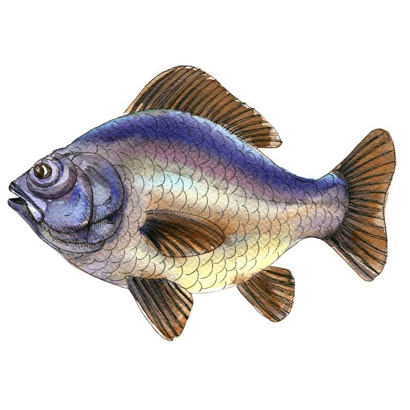 Große blaue rohe Karpfenfische lokalisiert, Aquarellillustration auf Weiß vektor abbildung