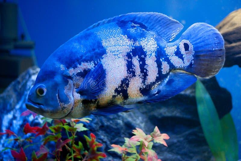 große blaue seefische im aqurium unterwasser stockfoto