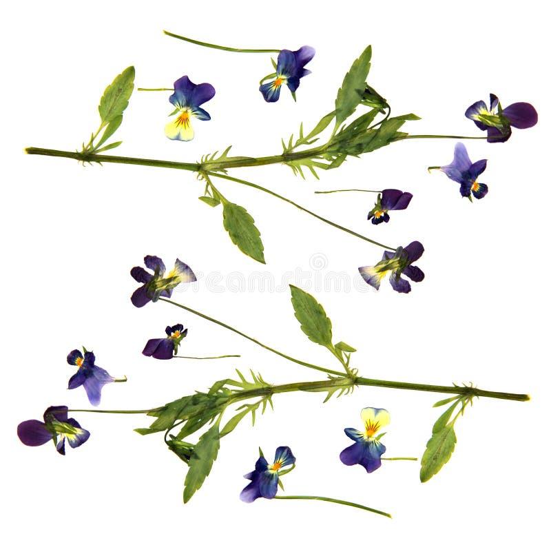 Große Blaue Und Weiße Blumen Drückten Trockenes Stiefmütterchen ...