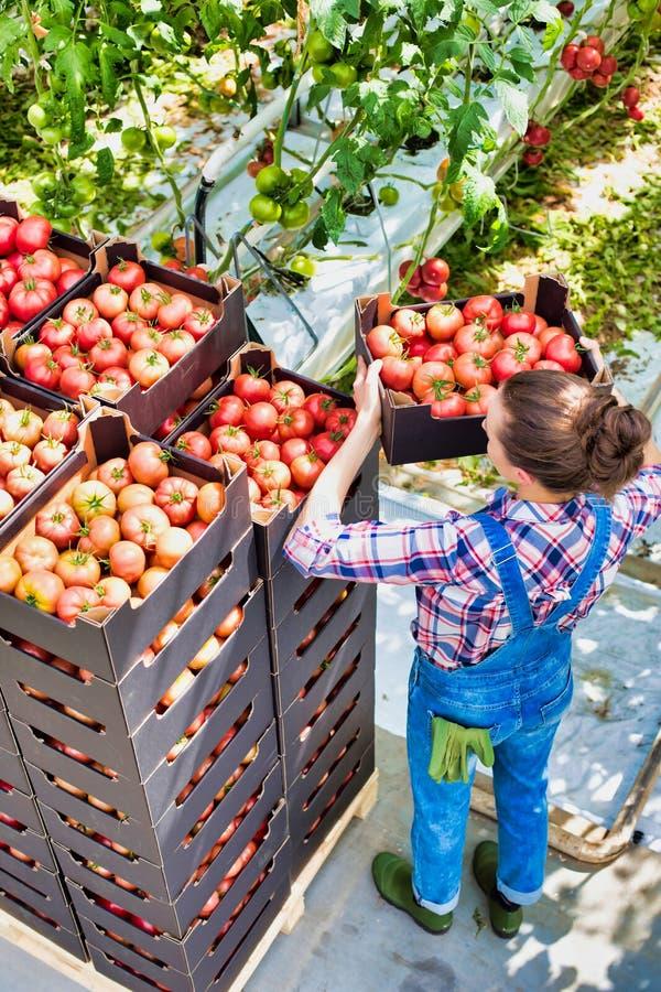 Große Blickwinkel auf Junglandwirte, die Tomaten im Gewächshaus anordnen lizenzfreie stockfotografie