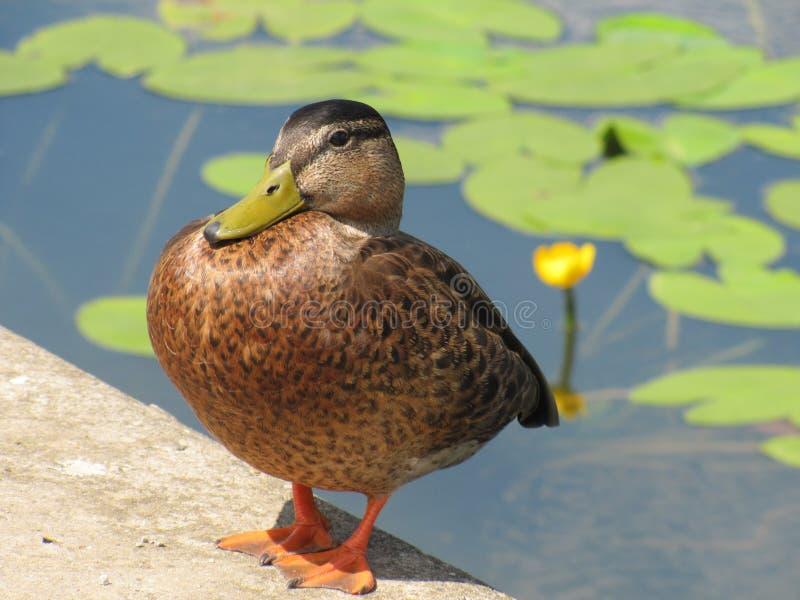 Große braune Ente, die den Teich mit grünen Blättern und gelber Lilienblume bereitsteht lizenzfreie stockfotos