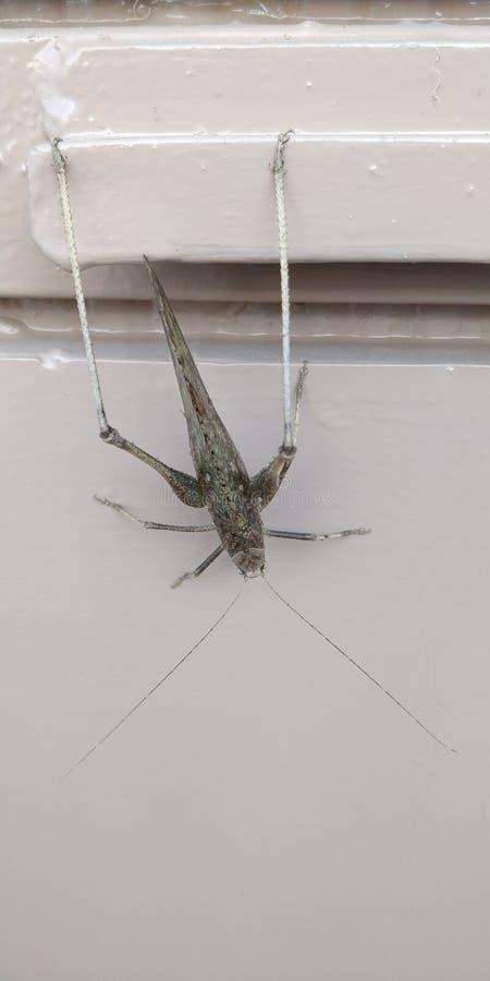 Große braune Grasshopper mit langen Hinterbeinen lizenzfreies stockbild