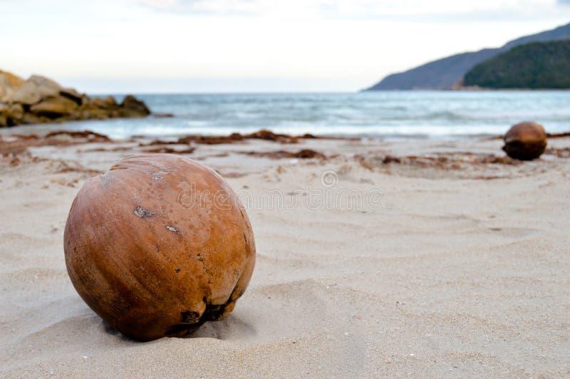 Große braune Kokosnuss auf tropischem Strand stockfotos