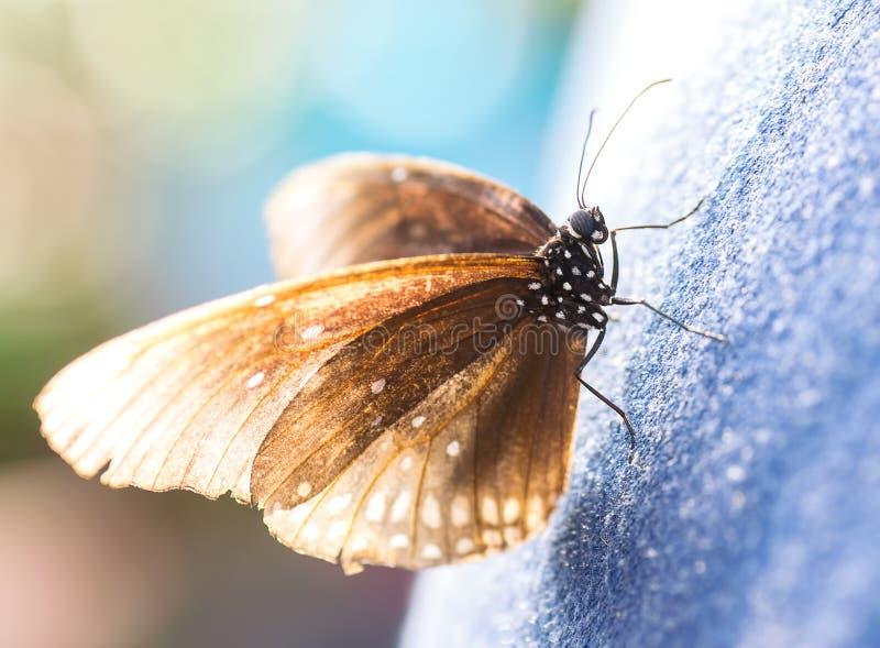 Große braune Motte stockfotos