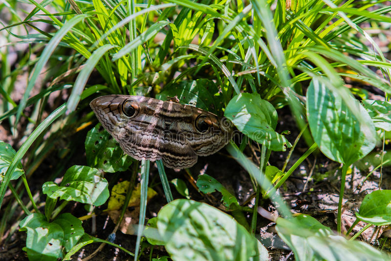 Große braune Motte mit Unterscheidungszeichen stockfoto