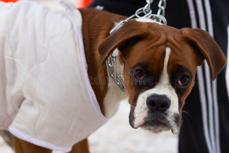 Große Bulldogge führt ergeben im Wintertraining durch lizenzfreie stockfotos