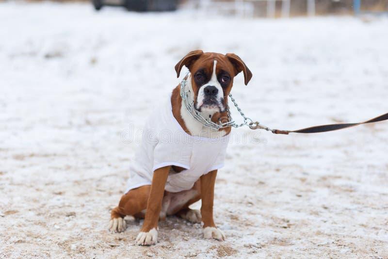 Große Bulldogge führt ergeben im Wintertraining durch stockfotografie