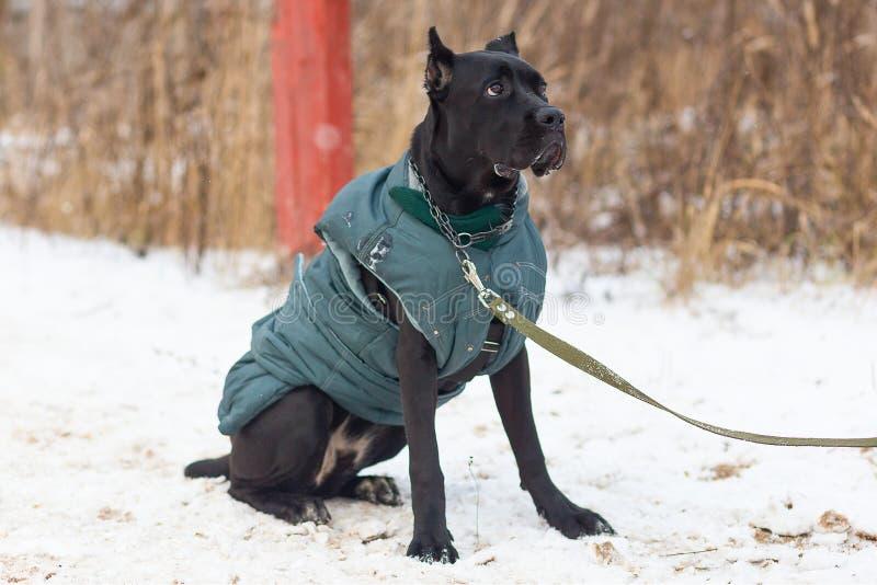 Große Bulldogge führt ergeben im Wintertraining durch stockfotos
