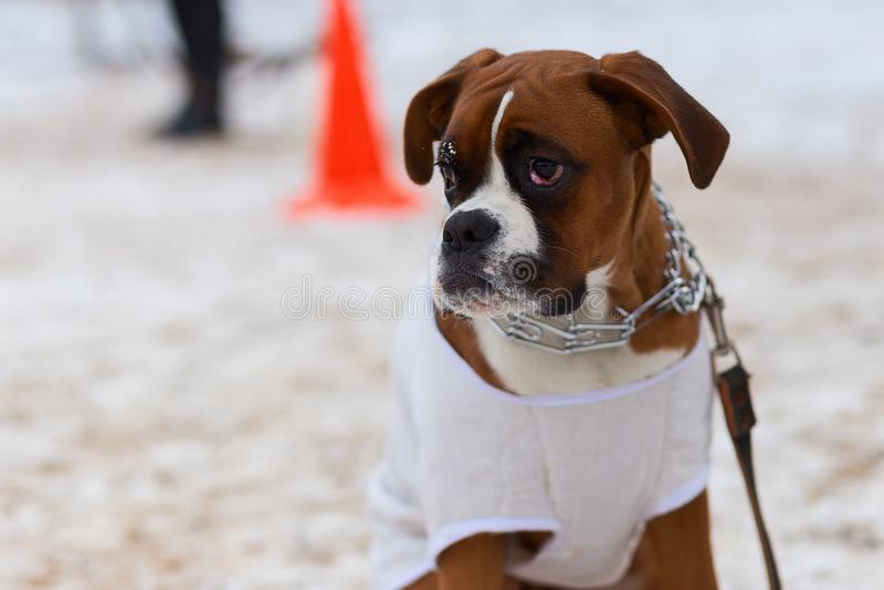 Große Bulldogge führt ergeben im Wintertraining durch stockbild