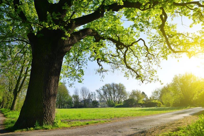 Große Eiche im Park lizenzfreies stockfoto
