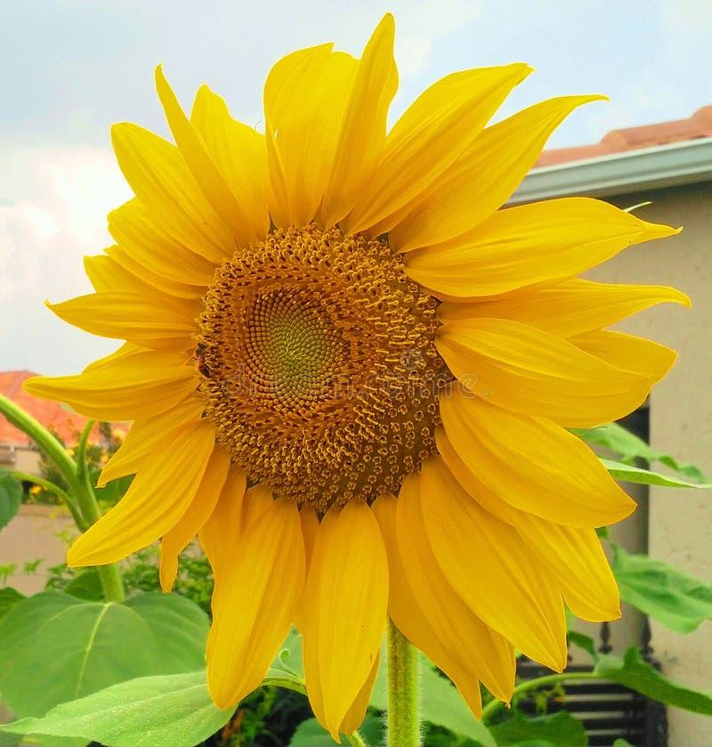 Große einzelne helle gelbe Sonnenblume stockfoto
