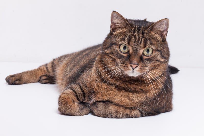 Große erwachsene Katze der getigerten Katze, die auf Seite legt. Lokalisiert auf weißem backgrou lizenzfreie stockfotografie