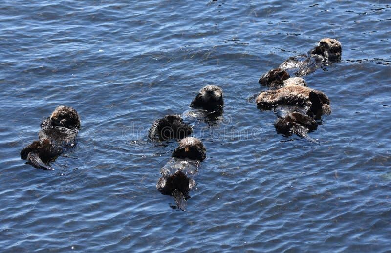 Große Familien-Gruppe Seeotter in einer Kalifornien-Bucht lizenzfreie stockfotos