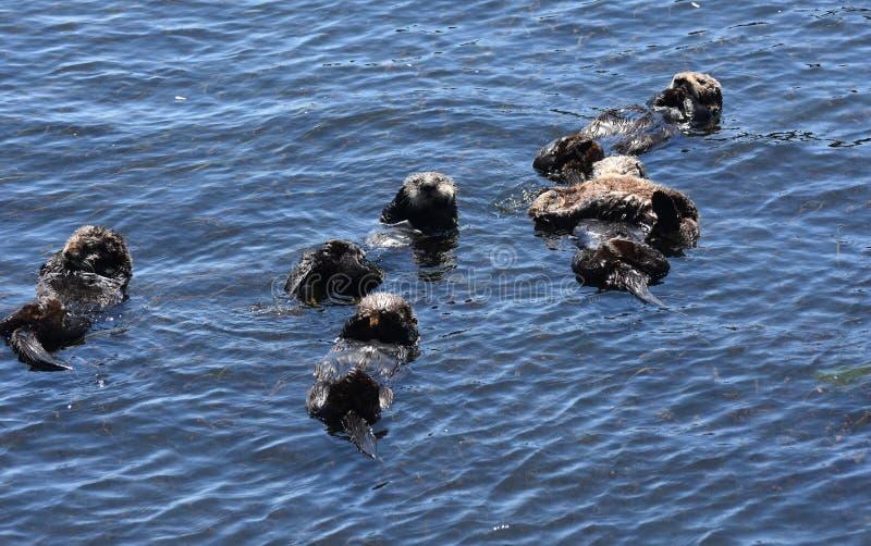 Große flößende Gruppe Seeotter, die in eine Kalifornien-Bucht schwimmen lizenzfreie stockfotos