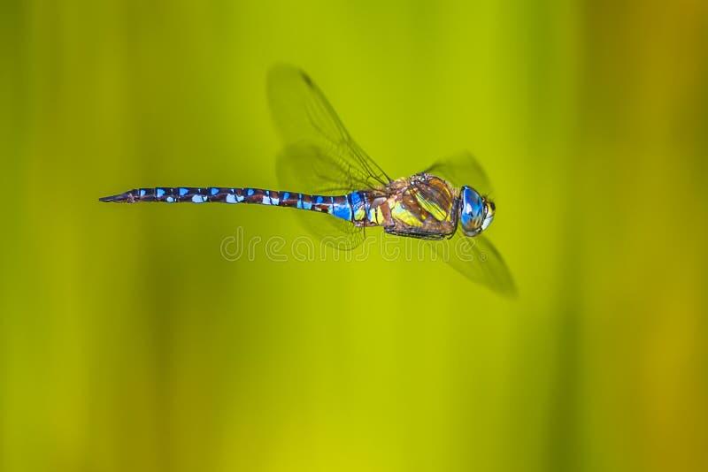 Große Fliegenlibelle lizenzfreie stockfotografie