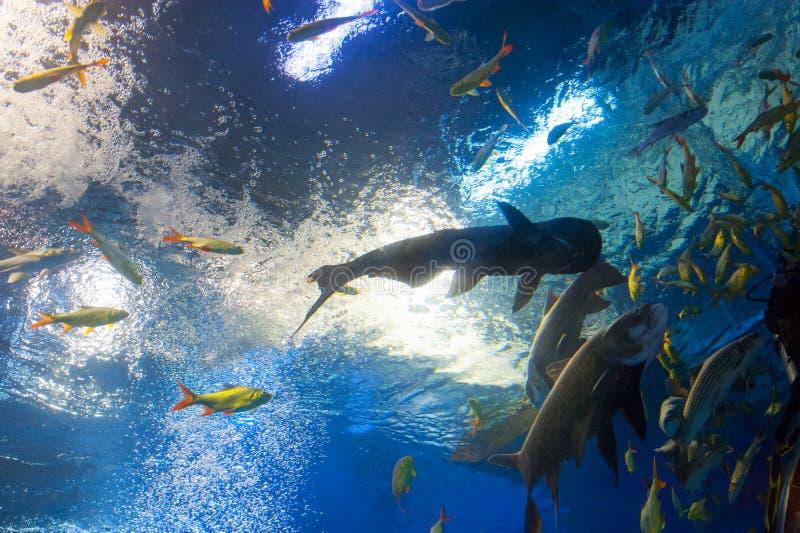 Große Flussfische im tropischen Aquarium lizenzfreie stockbilder