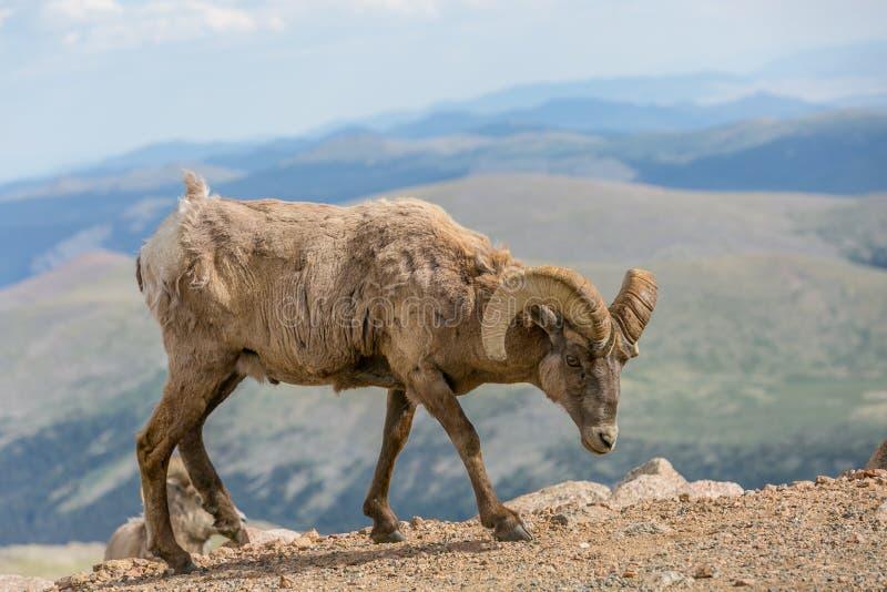 Große gehörnte Schafe in Sprintime stockfotos