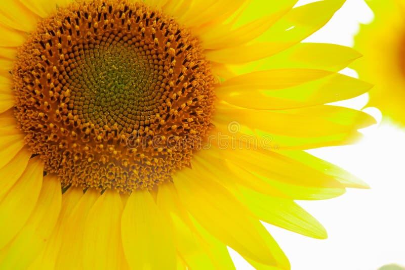 Große gelbe Blume des Sonnenblumenkreises warmer Hintergrund lizenzfreie stockfotos