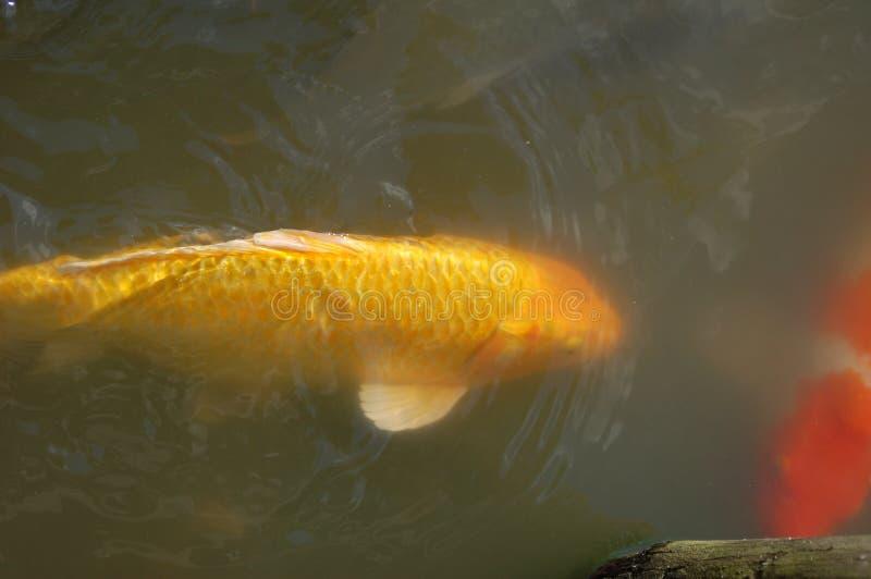 Große gelbe Fische in einem Teich mit weißem Dorn und Endstück und koi Fischen stockfoto
