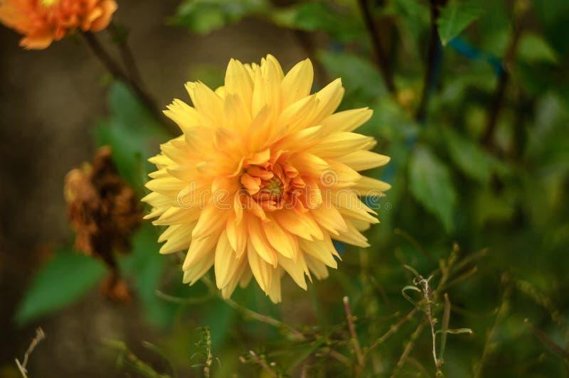 Große gelbe schöne Dahliennahaufnahme auf natürlichem Hintergrund stockfoto