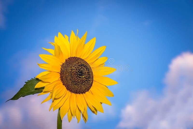 Große gelbe Sonnenblume lizenzfreie stockfotos