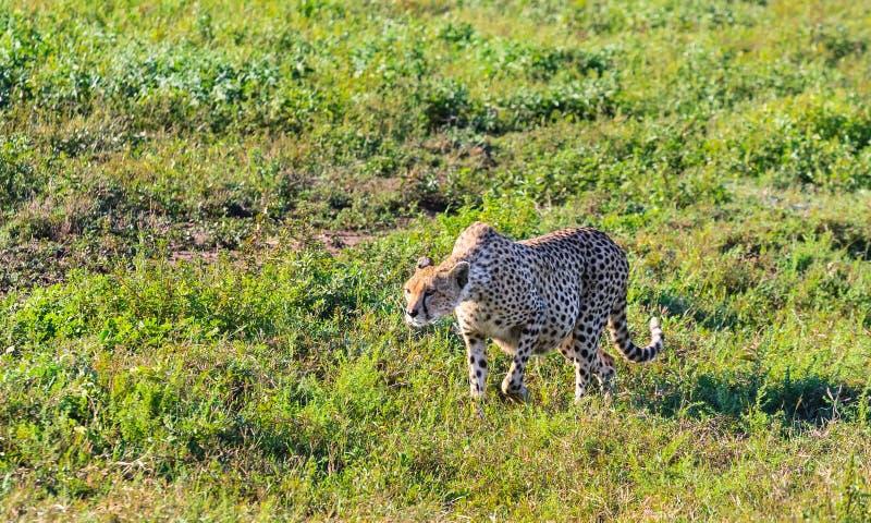 Große Gepardjagd in der Savanne des Serengeti tanzania lizenzfreie stockfotos