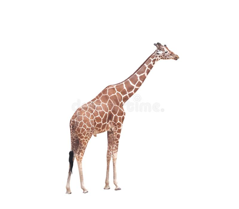 Große Giraffenstellung lokalisiert auf weißem Hintergrund mit Beschneidungspfad stockfotos