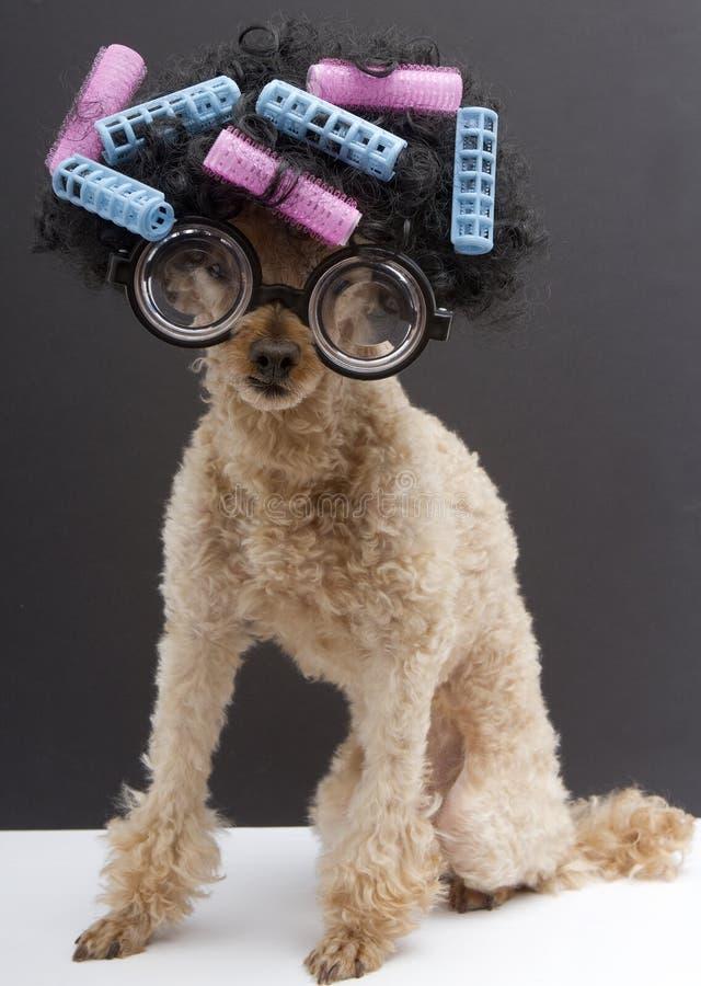 Große Gläser, Haar, Lockenwickler und auf einem Pudel stockbild