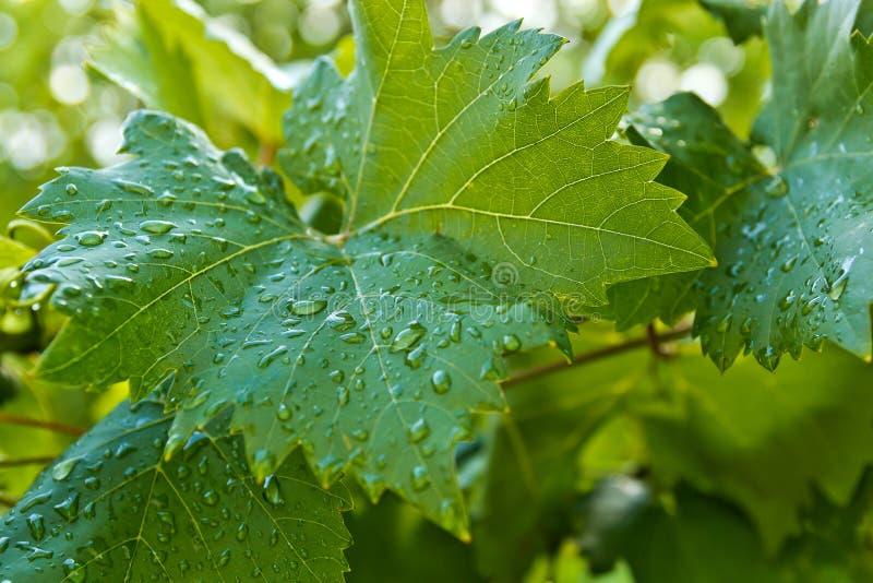 Große grüne Blätter von Trauben lizenzfreies stockbild
