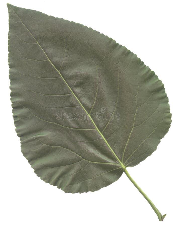 Große grüne Blattpappel lizenzfreies stockbild