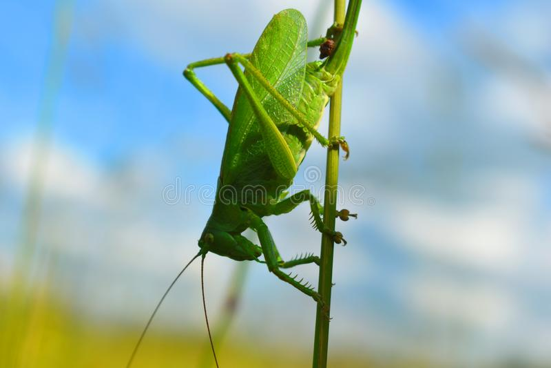 Große grüne Heuschrecke oder Heuschrecke auf einem Blatt im Sommer lizenzfreie stockfotos