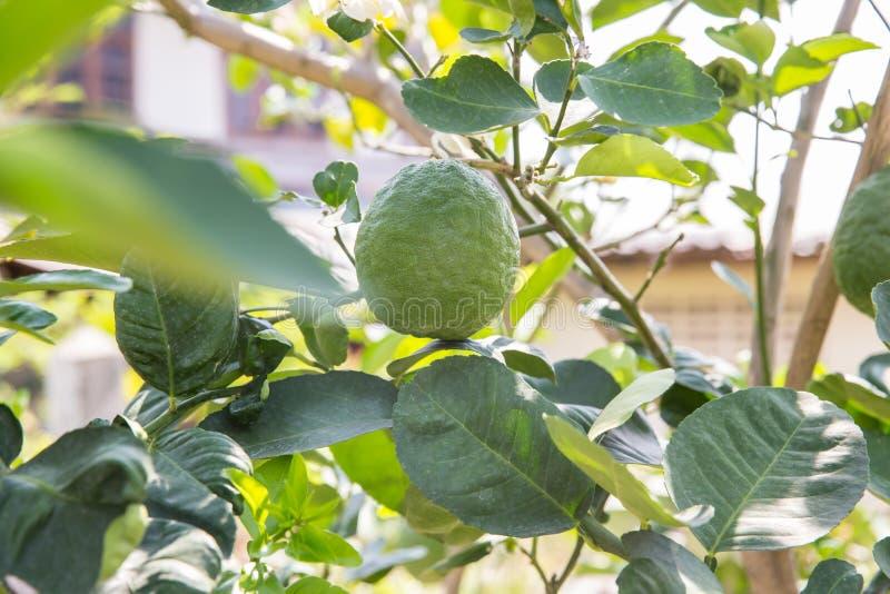 Gro?e gr?ne Zitrone, die auf dem Zitronenbaum w?chst Pampelmuse auf dem Baum Pampelmuse, ?? ?Pampelmuse name?? ?gro?e wei?e Pampe stockbild