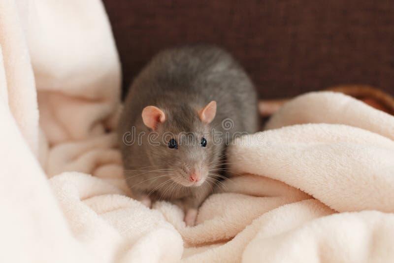 Große graue Haustierratte auf der flaumigen Decke stockfoto