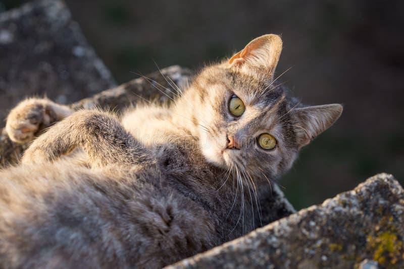 Große graue Katze, die auf der Treppe liegt stockfotografie
