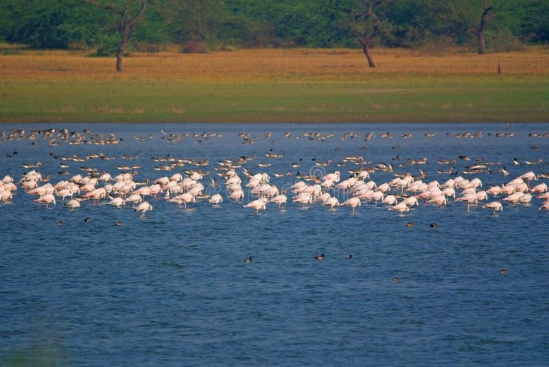 Große Gruppe Flamingos und Graugans gooses, die im See stillstehen stockfotos