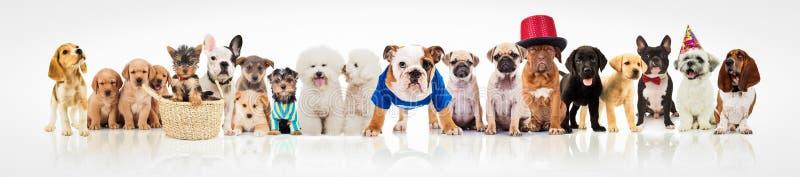 Große Gruppe Hunde auf weißem Hintergrund lizenzfreie stockfotos
