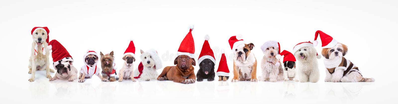 Große Gruppe Hunde, die Weihnachtsmann-Hüte und -kostüme tragen lizenzfreies stockbild