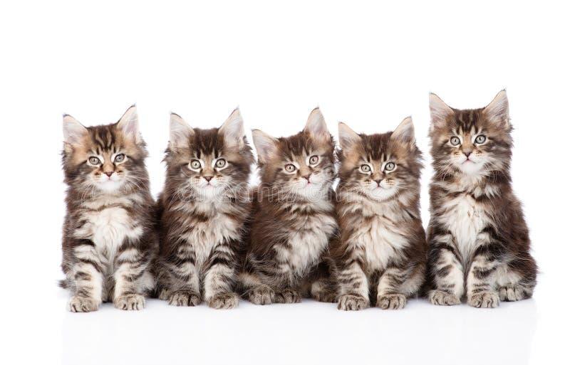 Große Gruppe kleine Maine-Waschbärkatzen, die in der Front sitzen Getrennt lizenzfreie stockbilder