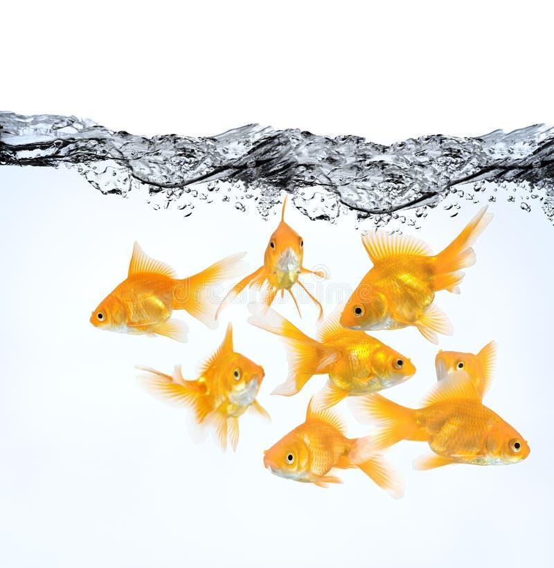 Große Gruppe von Goldfish im Wasser lizenzfreie stockfotos