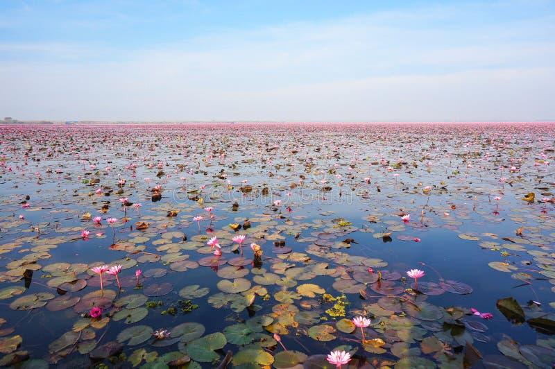 Große Gruppe von Lotus Flowers im Teich, Meer des roten Seerosefestivals stockfotos