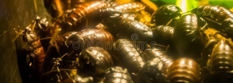 Große Gruppe Zischenschaben Madagaskars in der Nahaufnahme, große Familie von riesigen Hinterwellen, tropischer Insekt Specie von lizenzfreies stockfoto